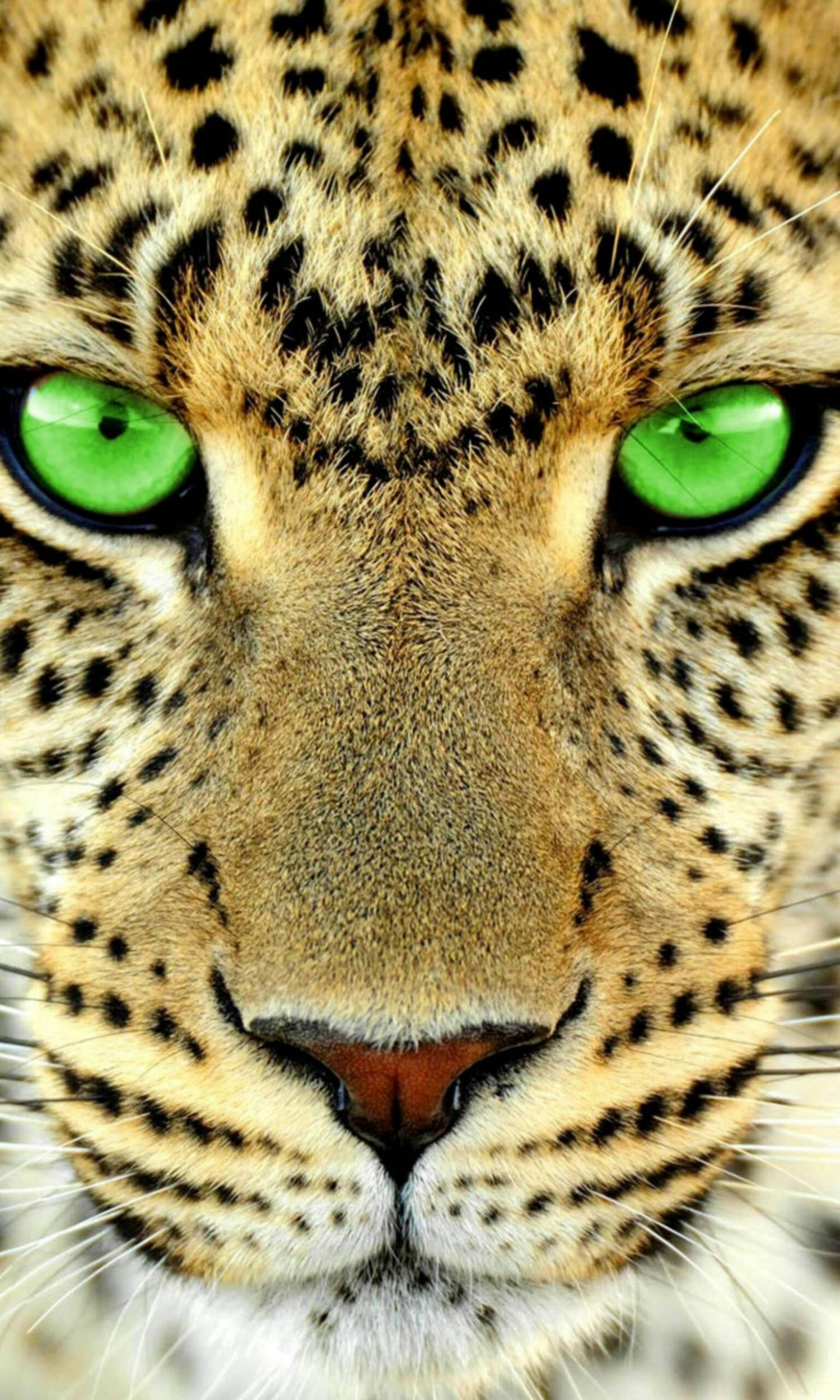 豹 豹子 壁纸 动物 桌面 1500_2500 竖版 竖屏 手机