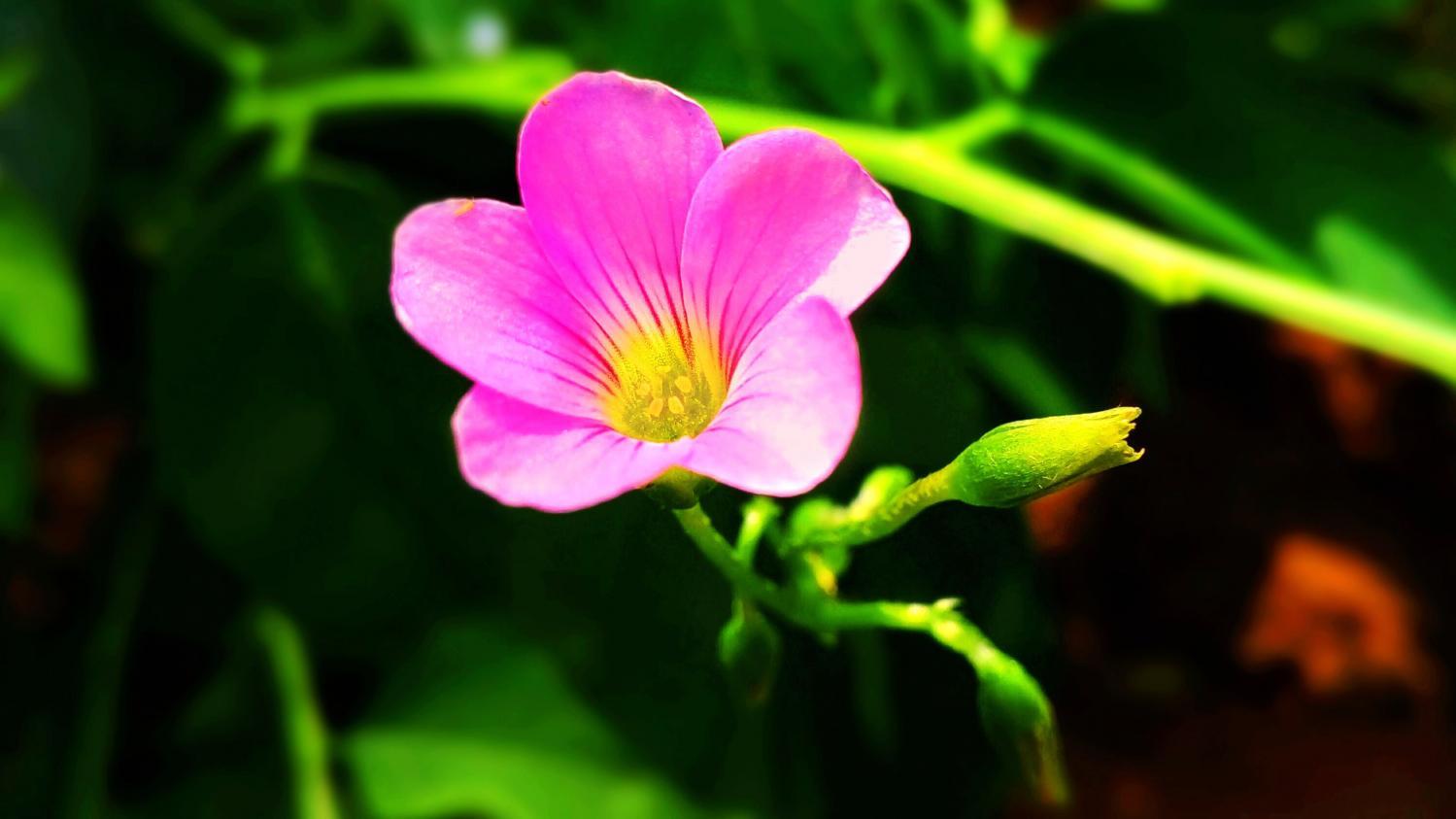 魅族魅力mx4 花卉壁纸